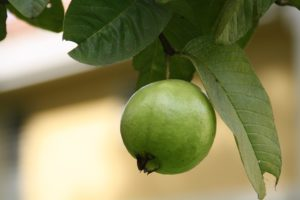 How To Prepare Guava Leaves For Weight Loss